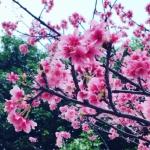 大好きな桜の季節のヨガ・ピラティス♡